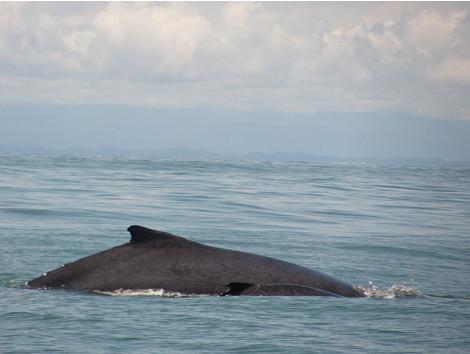 Avistamiento de Ballenas en el Pacífico